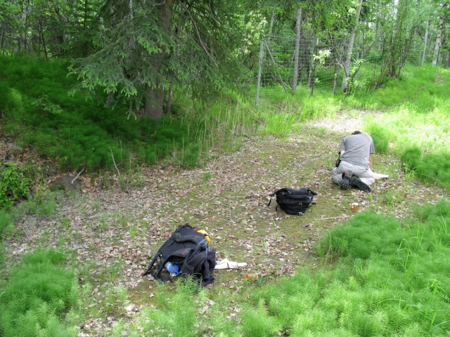 Asaphidion yukonense habitat. Fairbanks, Alaska.