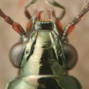 Bembidion (Bembidion) sp.