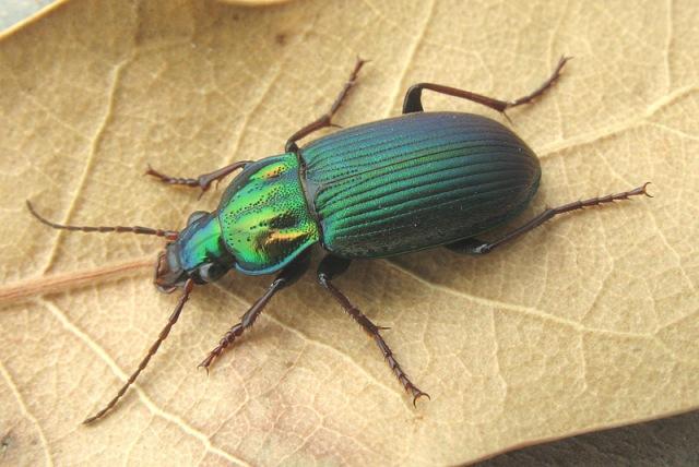 Chlaenius pimalicus