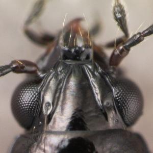 Bembidion (Trepanedoris) sp.