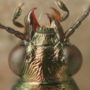 Bembidion (Notholopha) sp., Chile