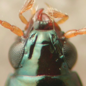 Bembidion (Nothonepha)  sp.