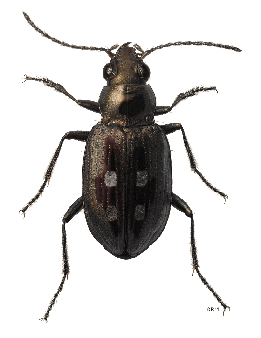 drawing beetles the subulate palpomere