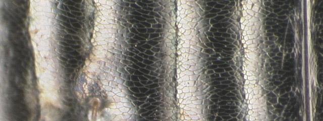 Specimen DNA3257, Alaska