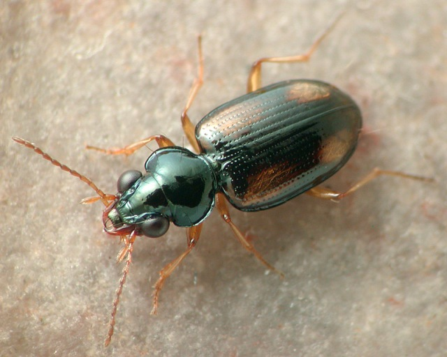 Bembidion poculare