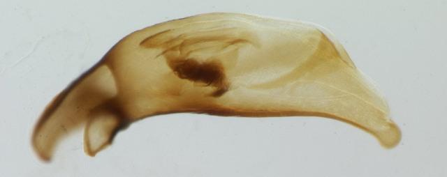 Specimen DNA3082 (small and brown), California