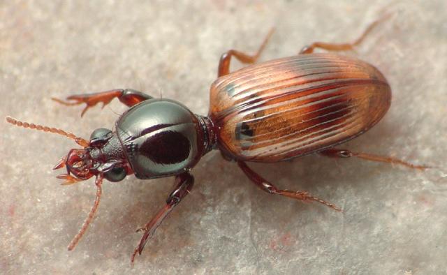 Dyschirioides sellatus