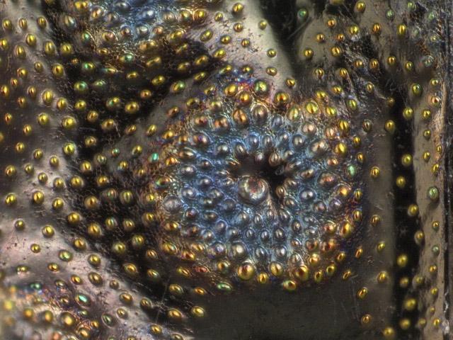 A closeup of part of an Elaphrus elytron
