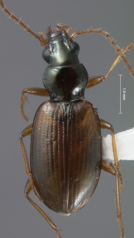 A second undescribed species of the Ocydromus complex of Bembidion