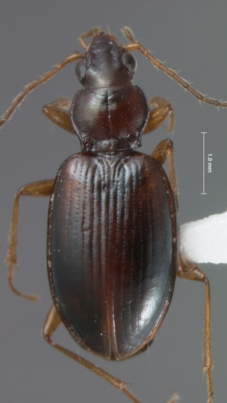 An undescribed species of the Ocydromus complex of Bembidion
