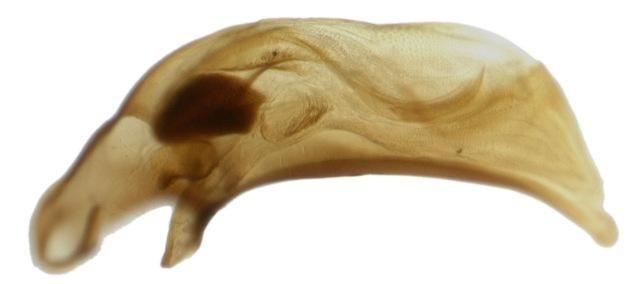 Male genitalia of Bembidion rupicola