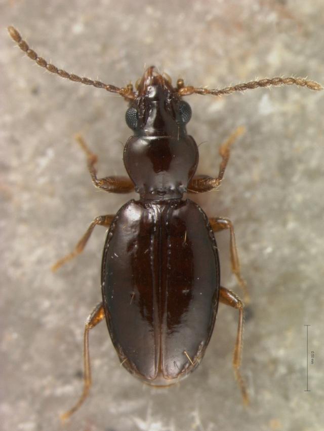 Andinodontis V100624Large