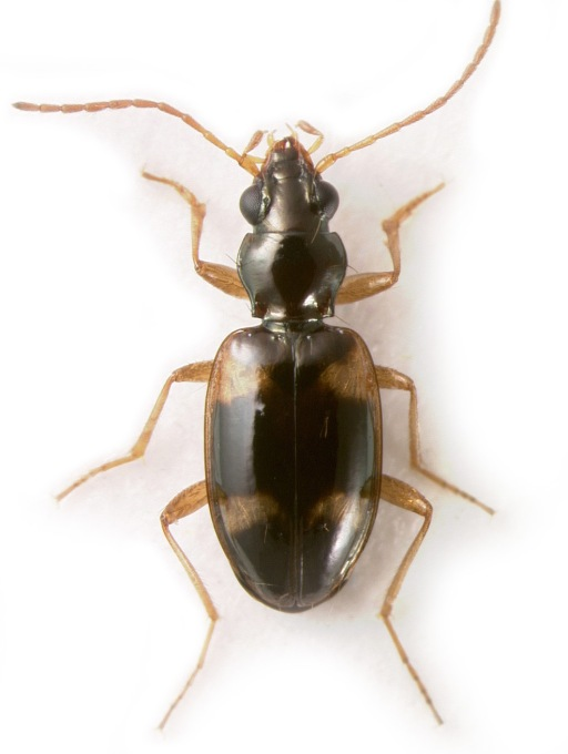 An undescribed species of Bembidion (Liocosmius) from California
