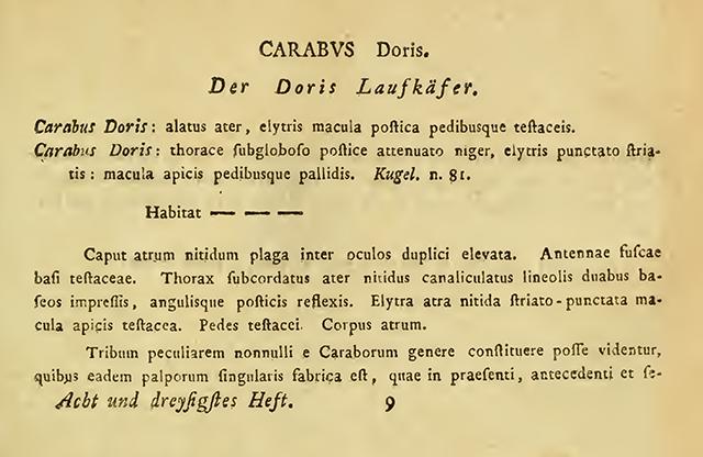 CarabusDorisDesc Small